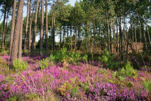 Forêt Pin maritime Landes Gascogne