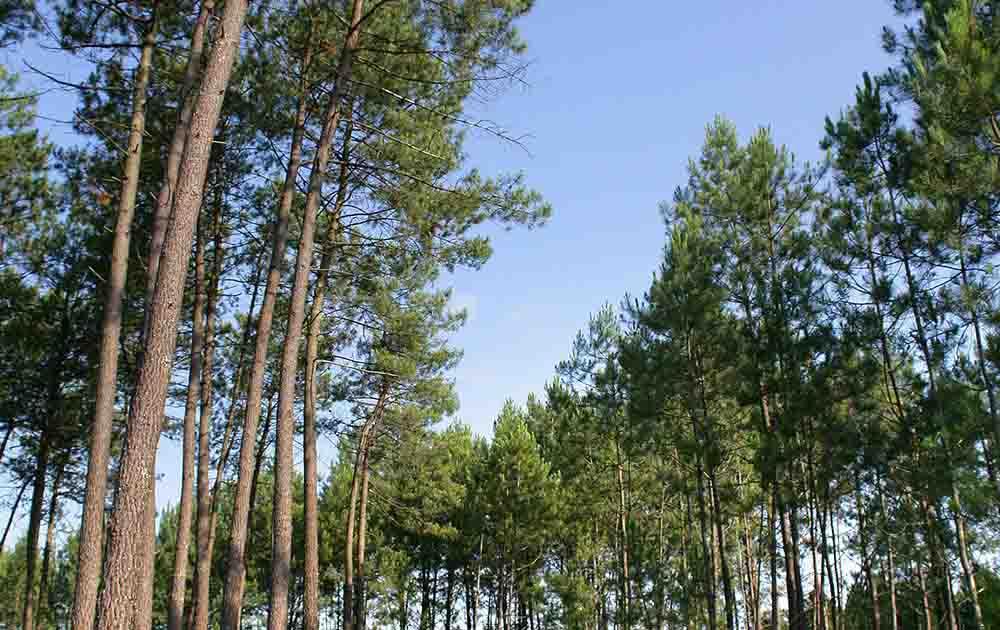 foret de pin des landes de gascogne