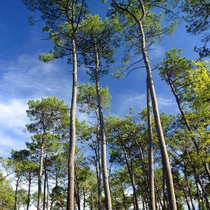 Forêt de pin maritime